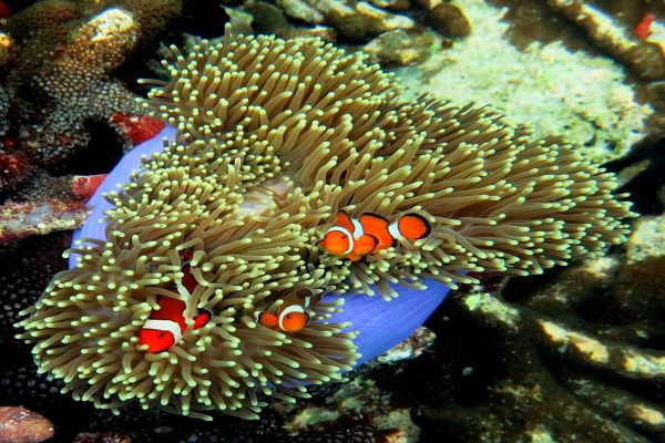 Nemo Clown Fish Khao Lak snorkeling